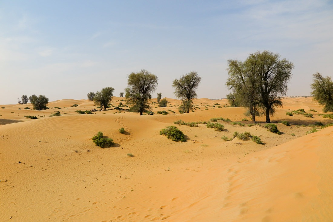 Ghaf tree, the national tree of UAE