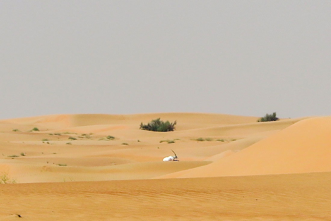 Lonely oryx in the desert, seemingly just waiting for his life to be over.