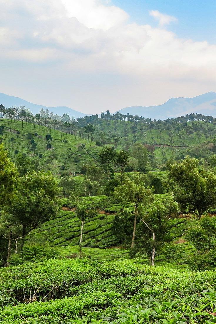 Beatiful tea plantations in Kerala, India