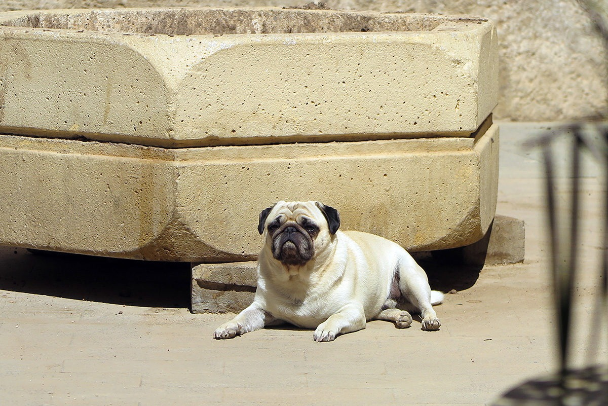 Pancho, a Valencian pug, chilling in the sun