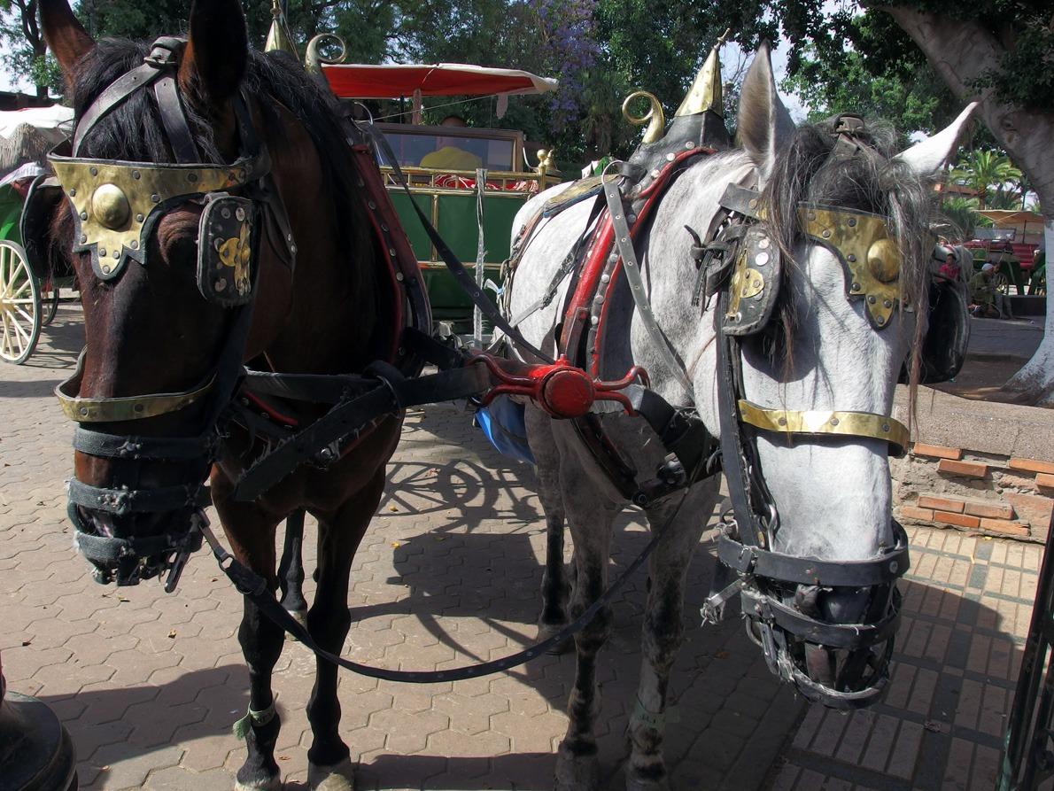 horses Marrakech