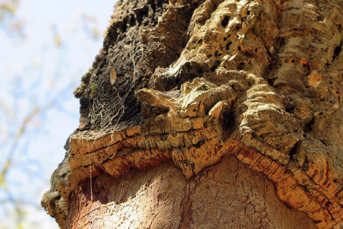Fascinating cork tree.. in La Selva, Spain