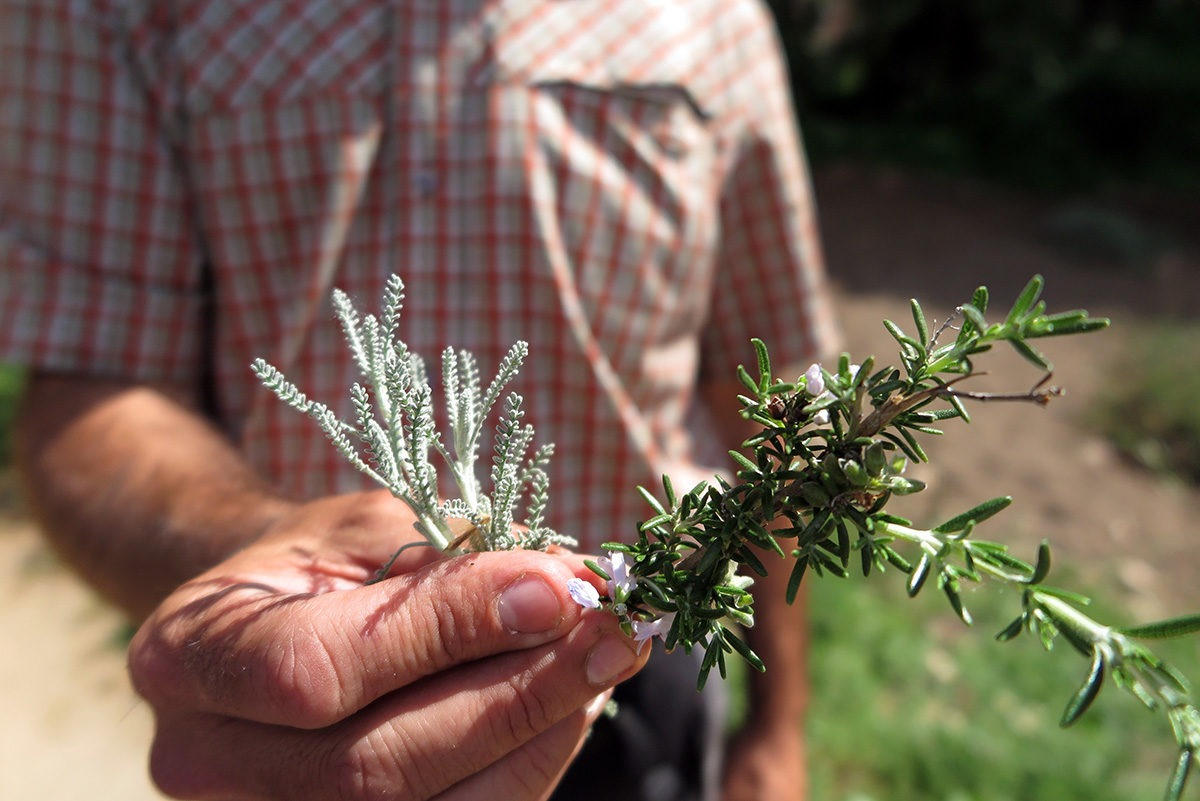 Tasting local herbs in La Selva, Spain
