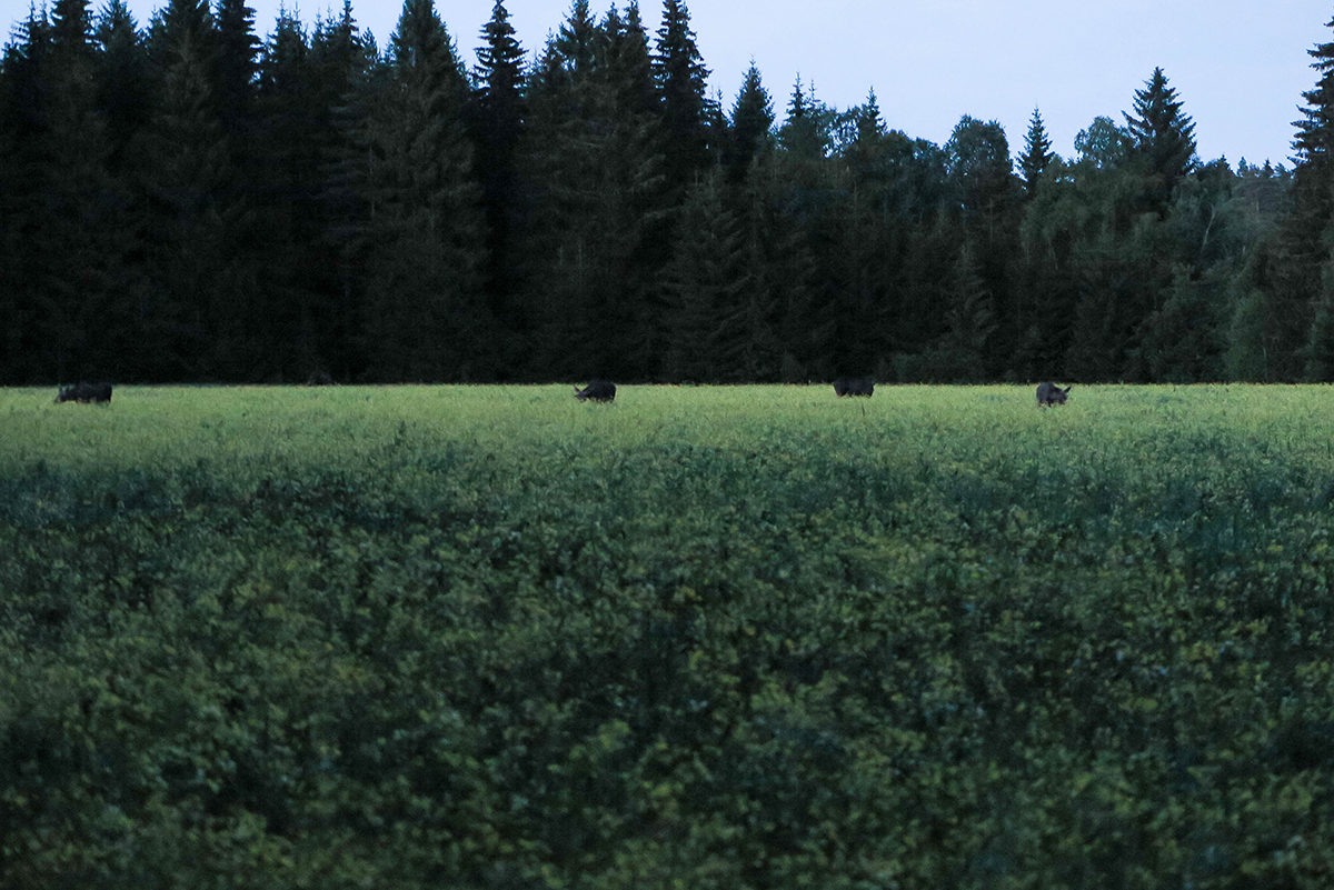Individualistic moose hanging out together, how rare! www.travelgeekery.com