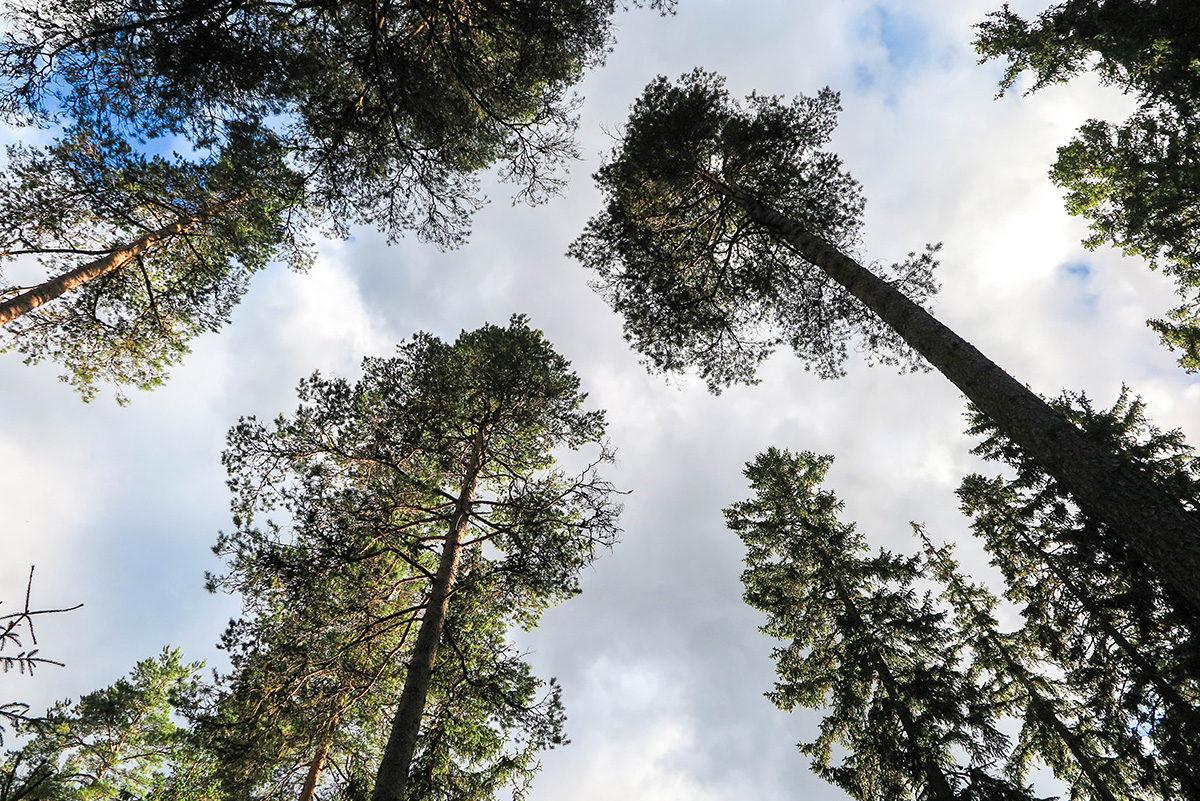 Tall trees of Vastmanland www.travelgeekery.com