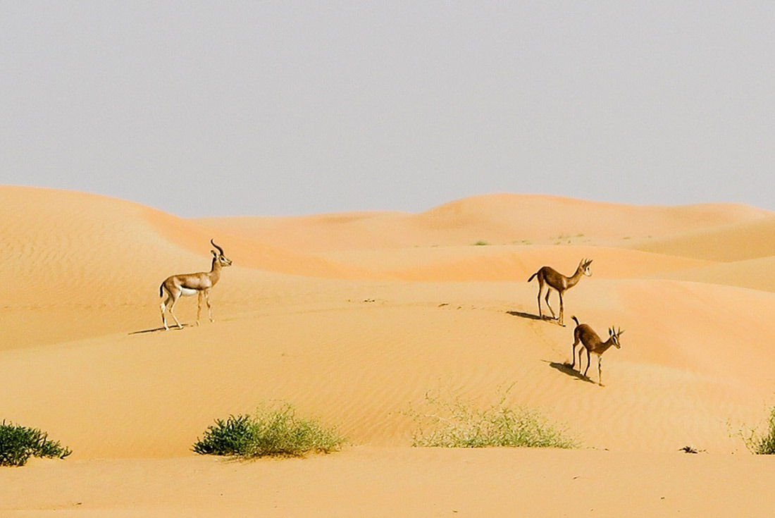 Wild Gazelles in Dubai Conservation Reserve
