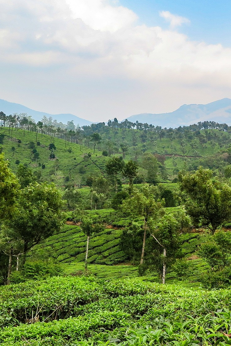 Beatiful tea plantations in Kerala, India