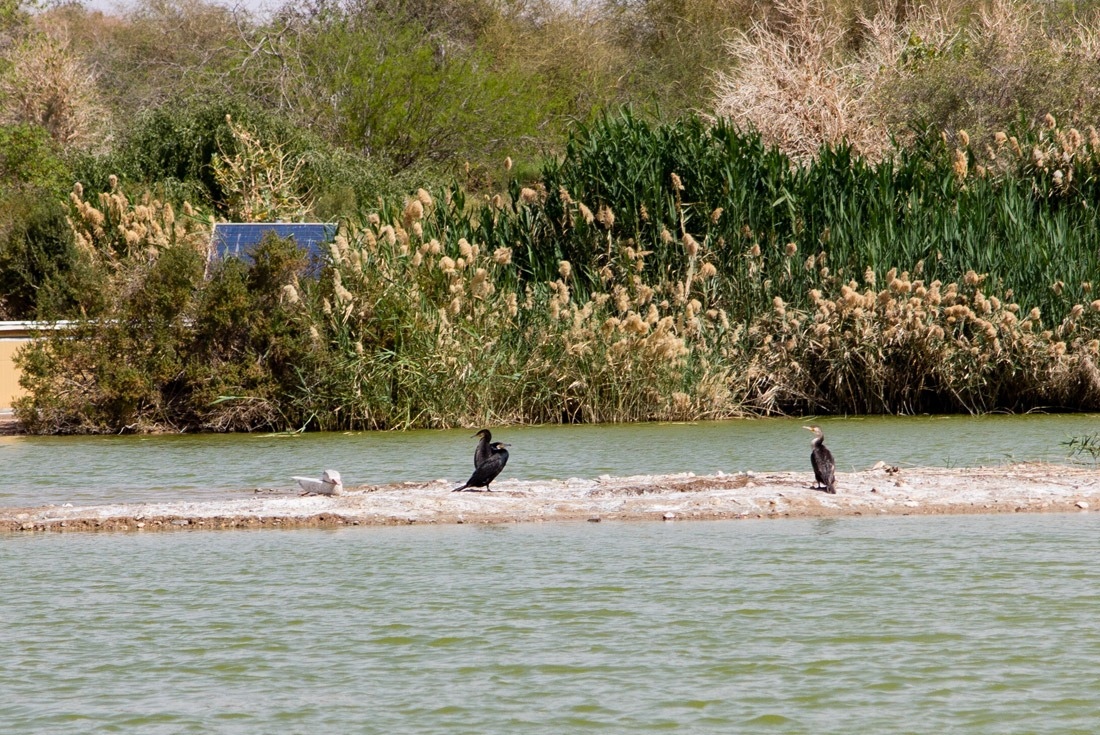 Cormorans in the marshes of Eilat Bird Sanctuary