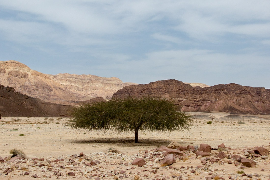 A funky tree in Timna National Park, Eilat