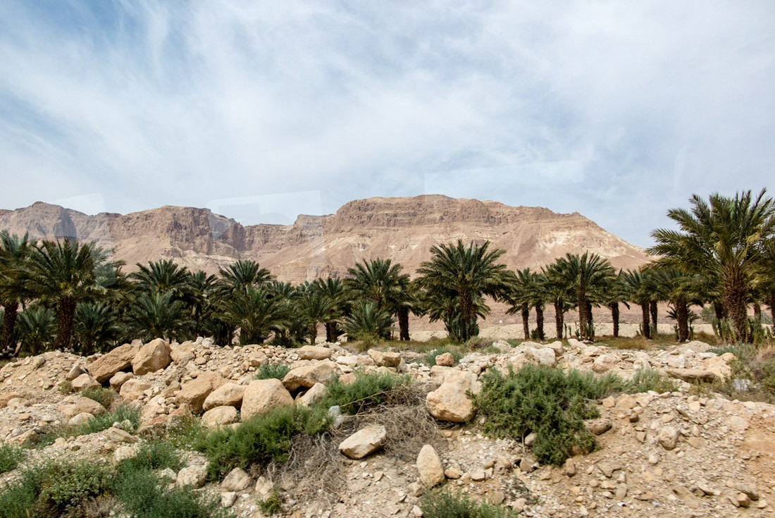 Date palms on the way to the Dead Sea and Masada