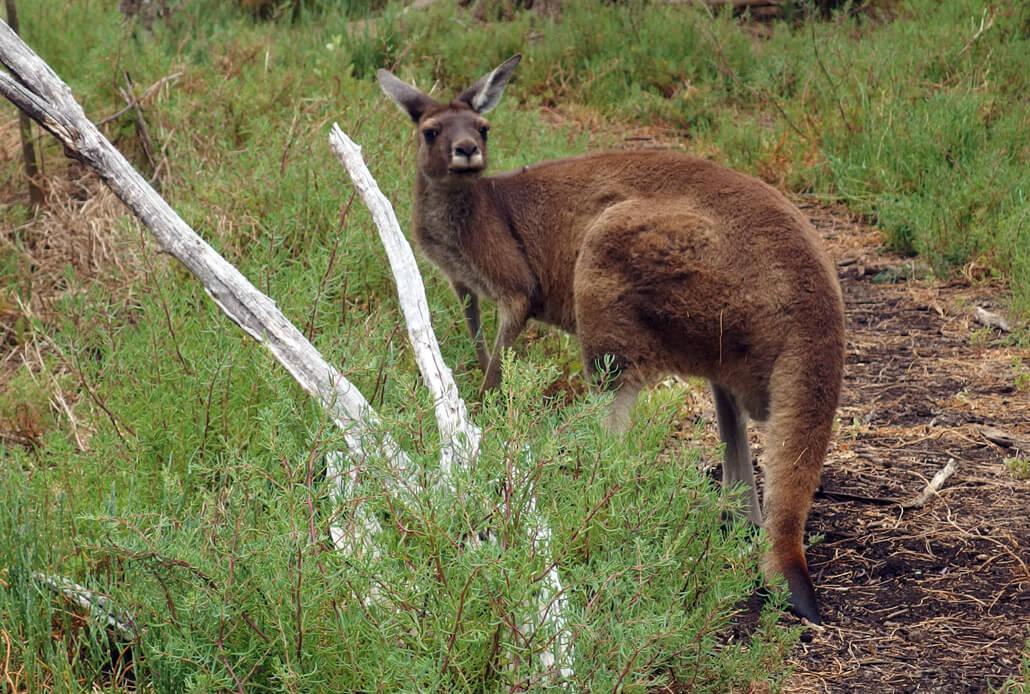 A curious kangaroo on the Heirisson Island