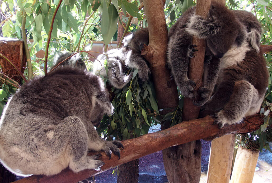 Napping koalas in Caversham Wildlife Park