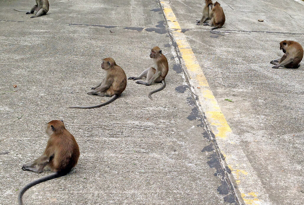 Monkeys in Koh Lanta
