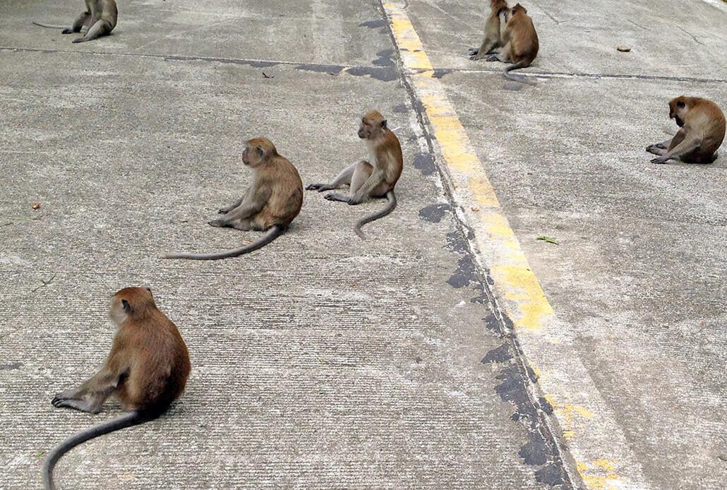 Monkeys in Koh Lanta