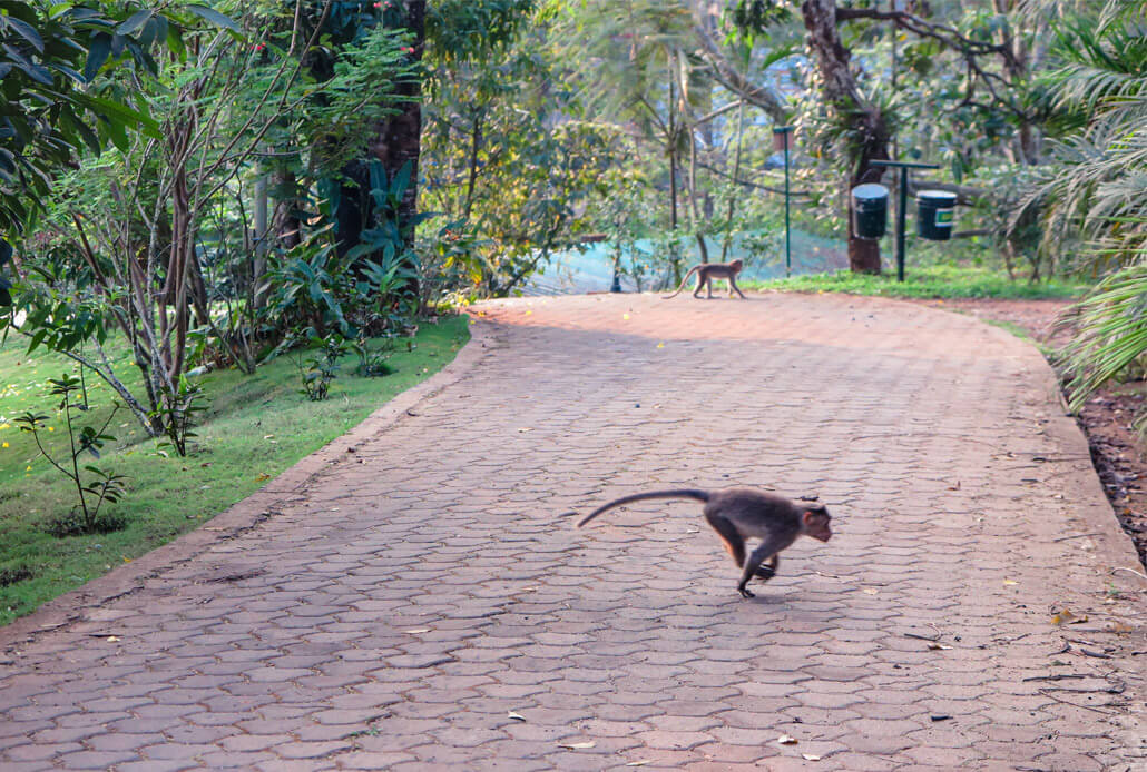 Monkeys in the Vythiri Village hotel resort, Kerala, India