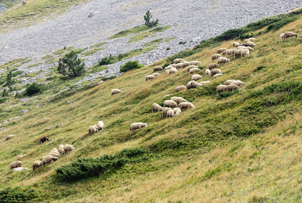 Mountain sheep on Kom Vasojevickij