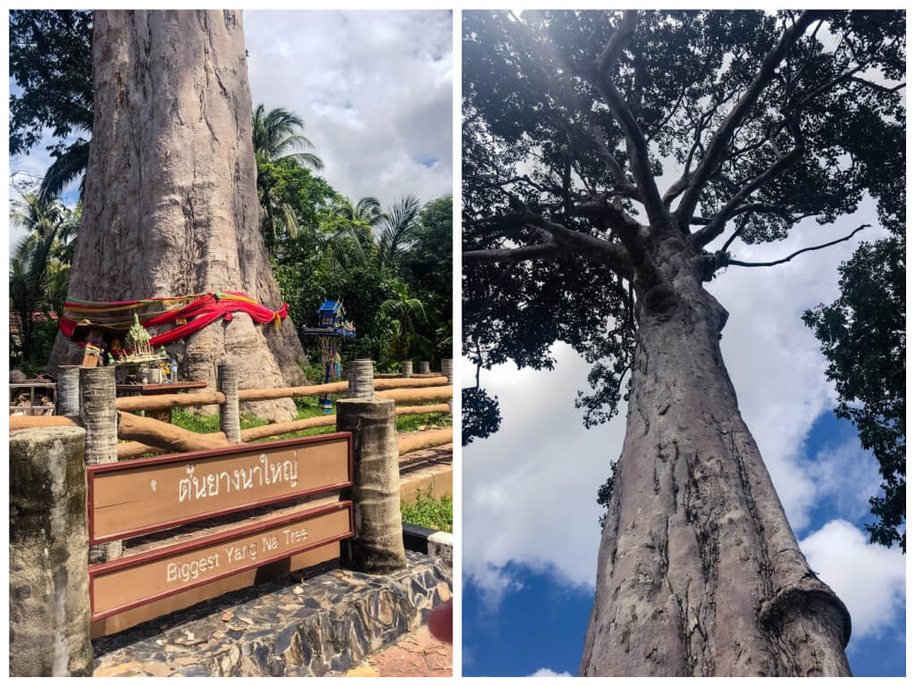 Biggest tree in Thailand