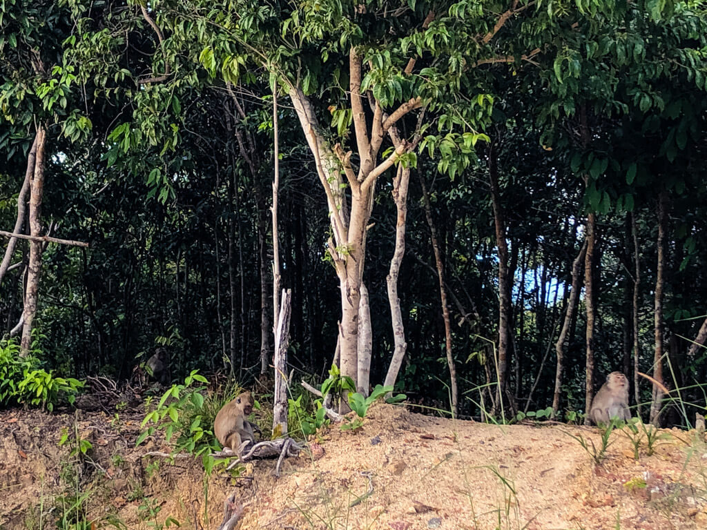 Monkeys in Koh Phangan