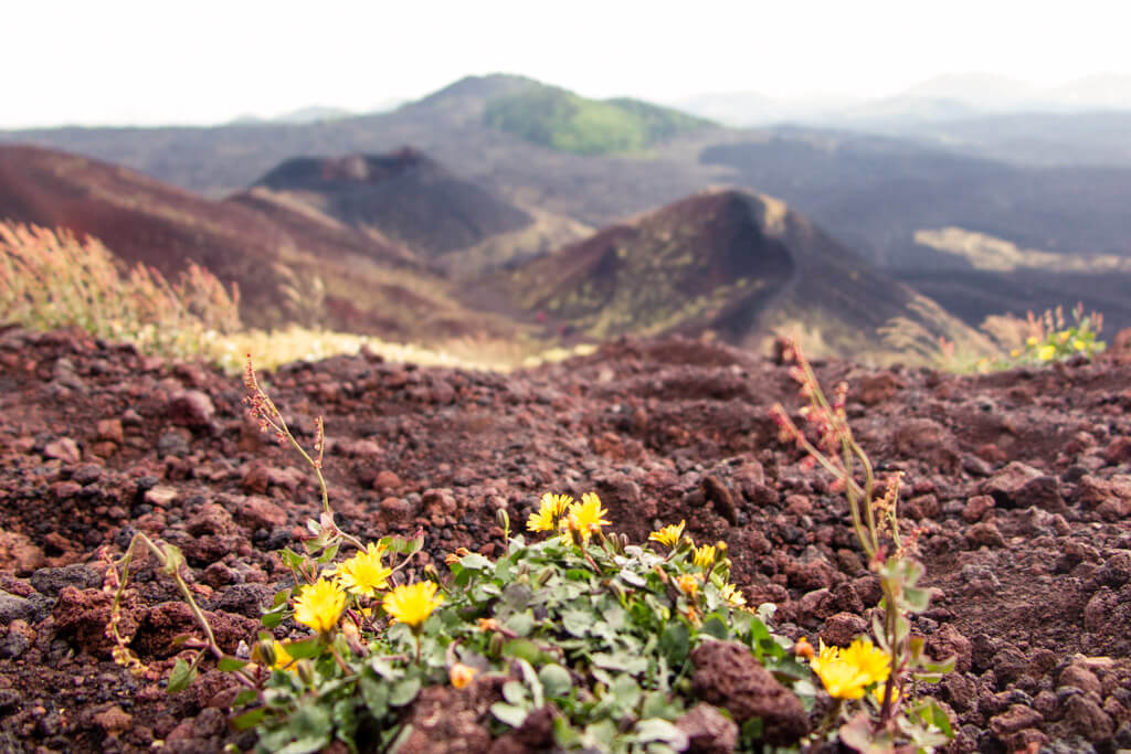 Flowers on Etna volcano in Sicily