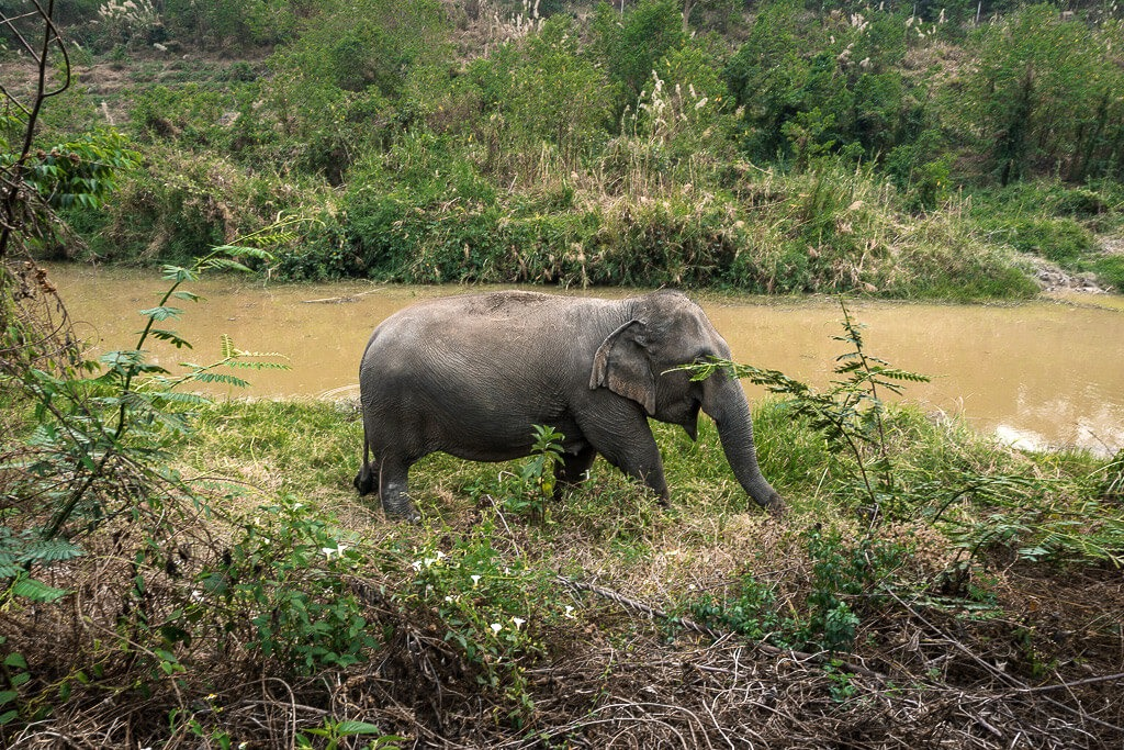 An elephant walking by a river in Cambodia
