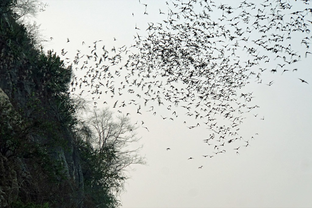 A colony of bats flying out of a cave in Cambodia