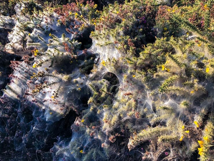 Bushes covered in spider webs