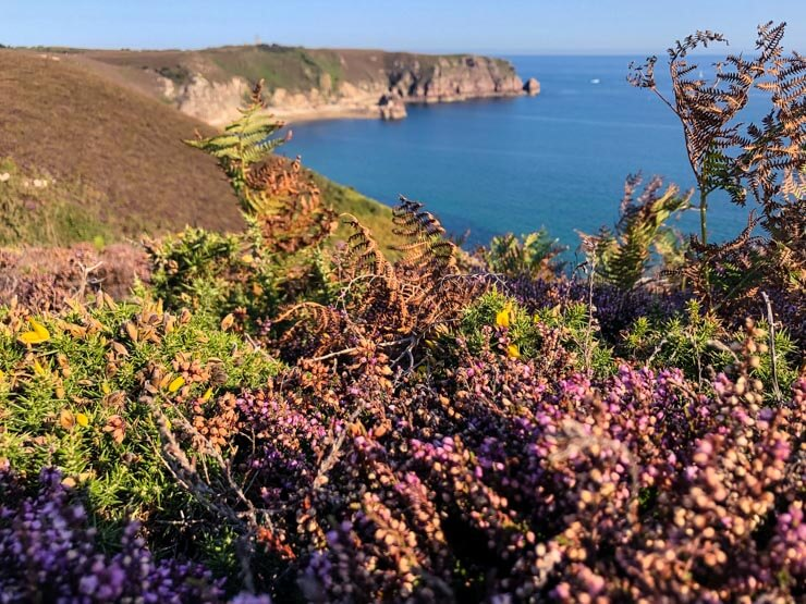Colorful Emerald Coast - purple heather, green ferns and dark blue ocean