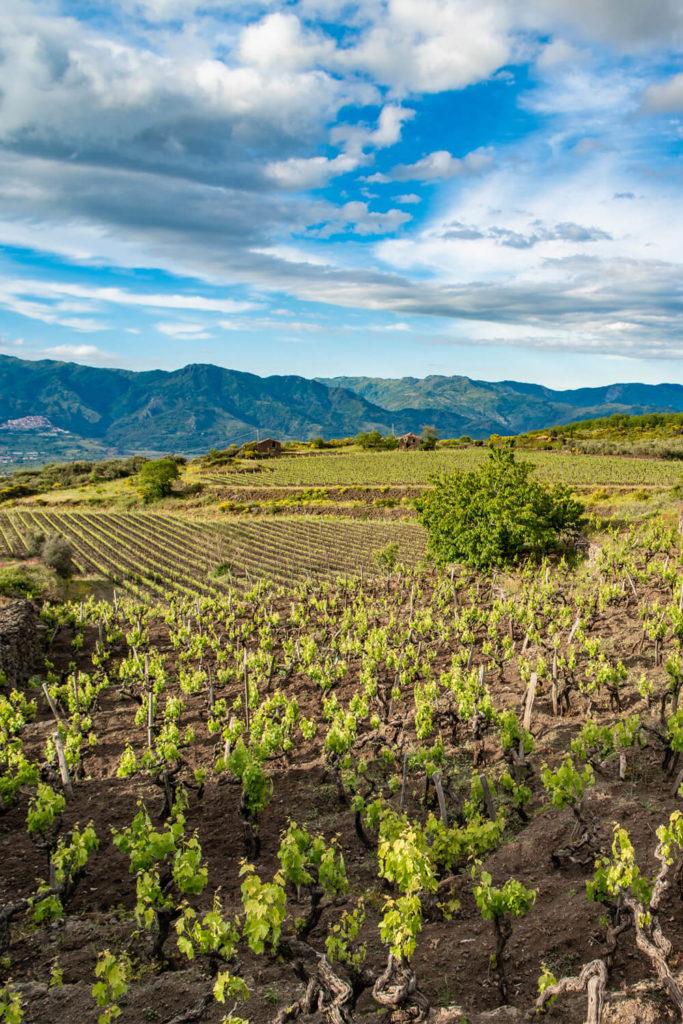 Vineyards on Mount Etna in Sicily