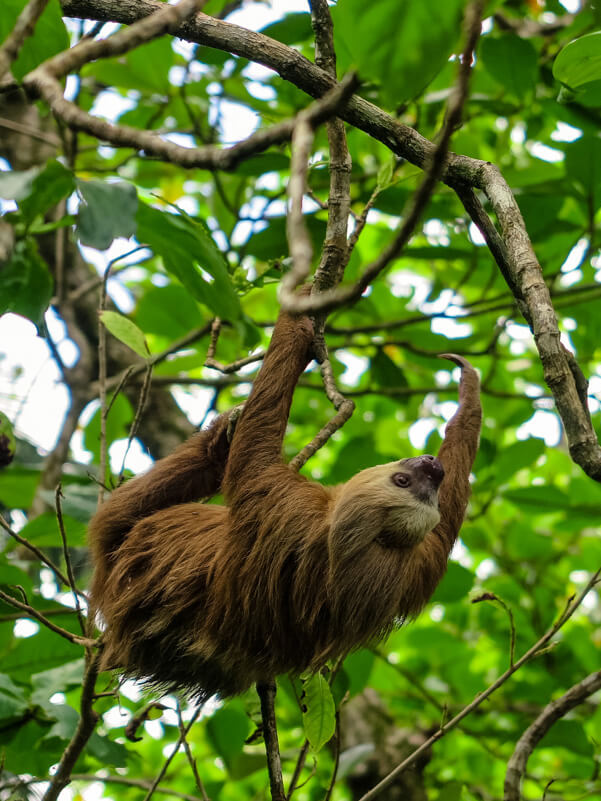 A sloth in a national park in Costa Rica