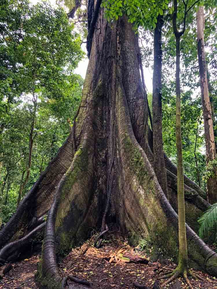 a trunk of a large tree in a Costa Rica National Park