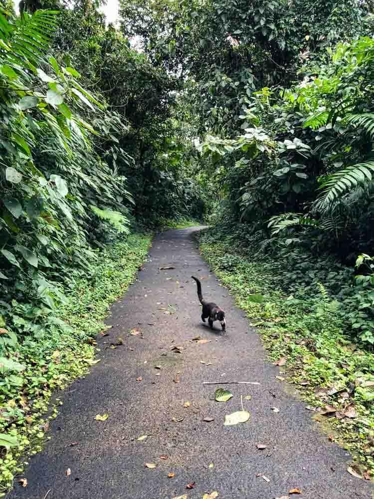 Coati in a Costa Rica National Park