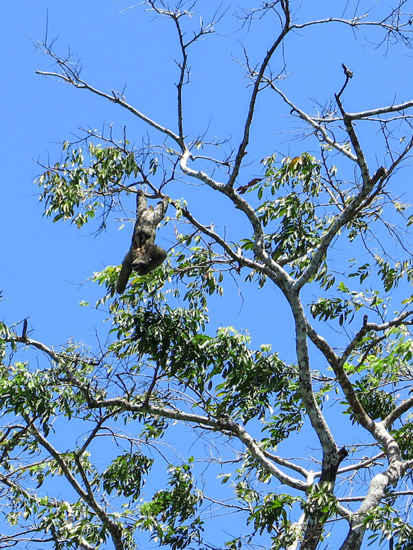 a sloth hanging from a tree