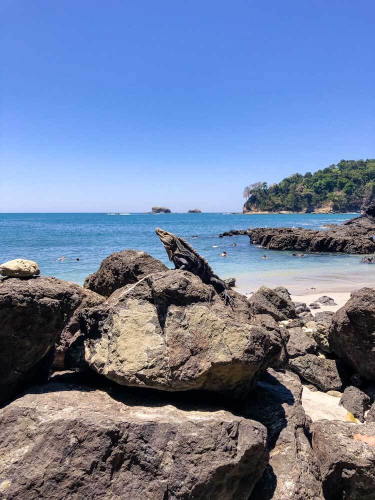 an iguana posing on a beach in Costa Rica