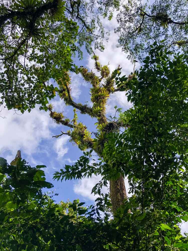 view of tropical tree tops from below