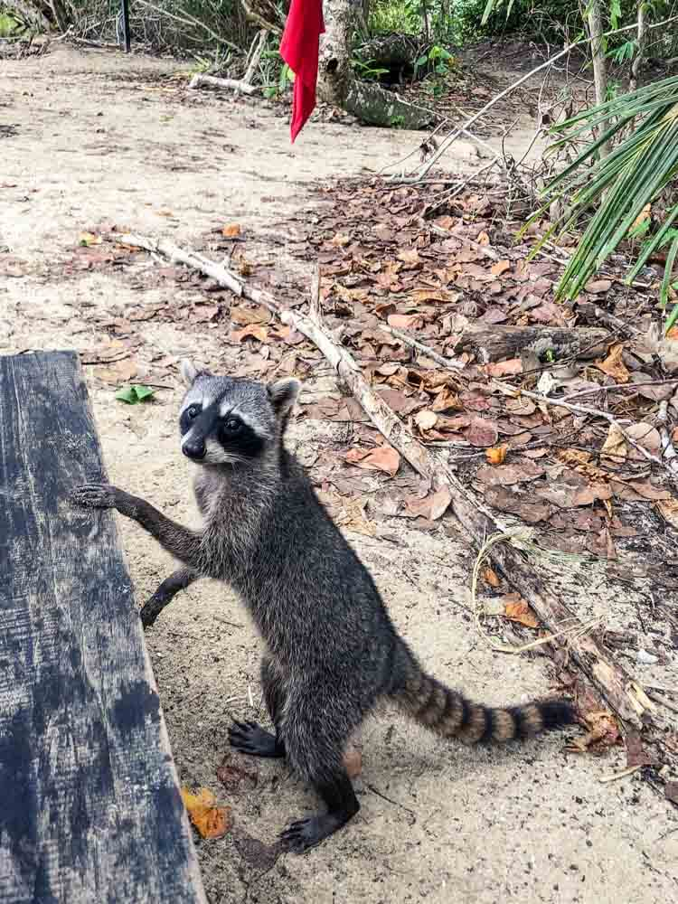racoon begging for food
