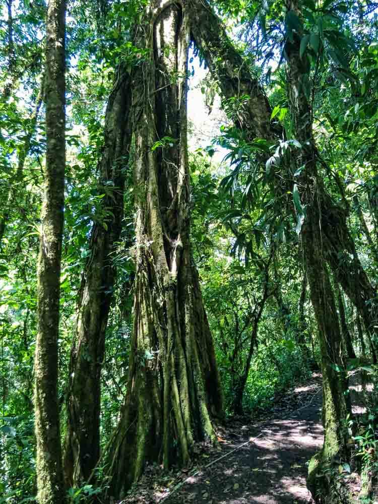 Trees lining paths in Monteverde Reserve